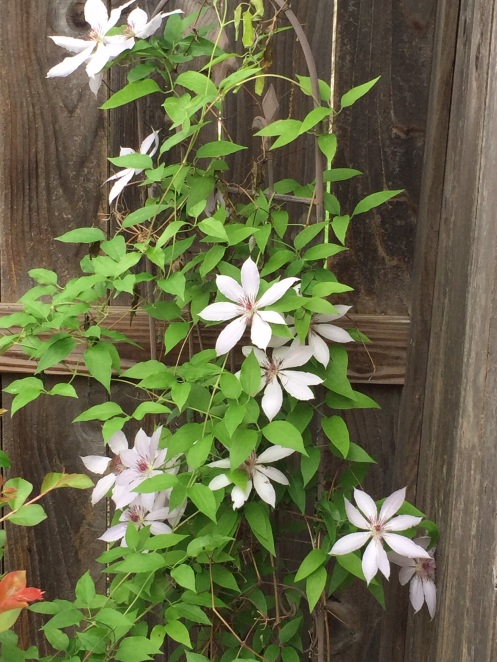 Nelly Moser Clematis, faded color, stunted growth.  We must educate the gardener.
