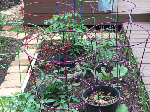 Circling deliciousness.  Tomatoes & Eggplants amidst a feeding and watering station.