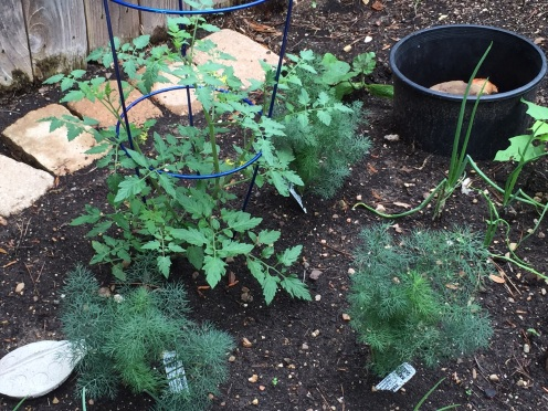 Dill nursery planted for the Swallowtail Butterflies.  Cherry Tomato plant, already fruited!