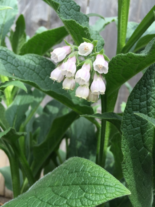 Comfrey is blooming!