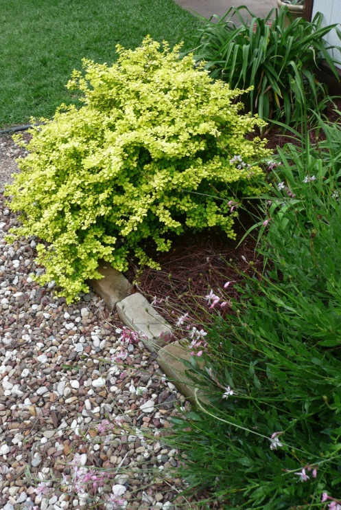 Golden Barberry, my favorite garden shrub!