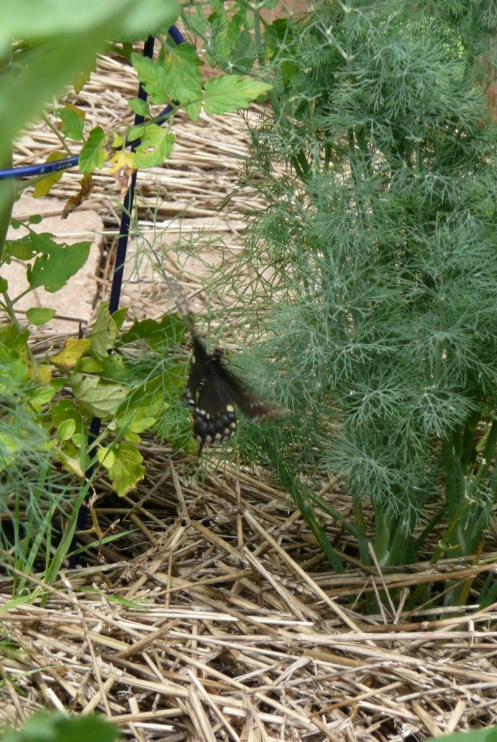 Speaking of butterflies...a Swallowrail flitted between the dill plants this afternoon.  One of my three dill plants is a nursery.