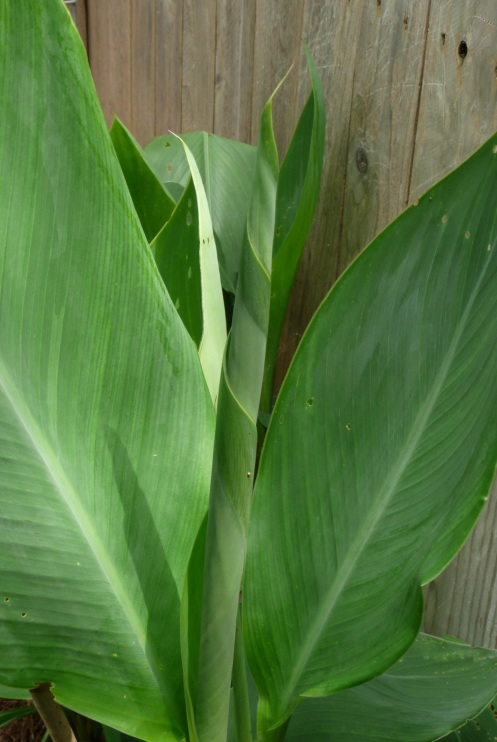 Canna leaf wrapped by nature; during the next day she will unfurl her new leaf.