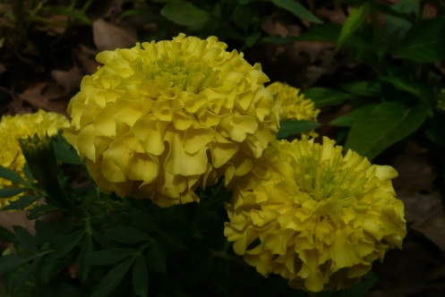 Lime colored Marigold.  She unfolds in a wave of decending color.