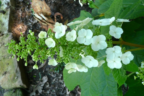 "Oak-leaf Hydrangea, popping out her, ""Hello!"""