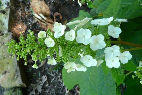 "Oak-leaf Hydrangea, popping out her, ""Hello!"""