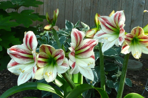 "Candy Cane Amaryllis, gifted by Vicki & Frank.  ""Once upon a Christmas"""