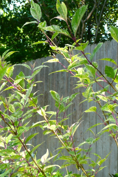 The Variegated Beautyberry may cast white berries, but look at the beautiful purple branches!  A keeper, for sure.  I planted her to fill in a dead space and to hide some of the composting area.