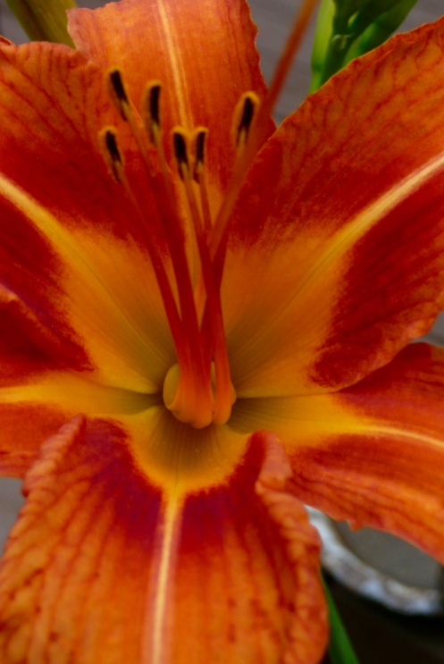 (Georgia O'Keefe, I dedicate this to you.). A Daylily, kissing the sunlight.