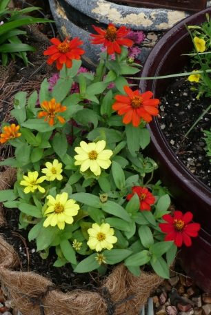 More beautiful than yesterday.  So many flowers yet to bloom.  I'm hoping these little Zinnias don't catch fungus.  Let's enjoy them while we can.