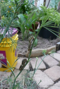We've munched the dill plants down to the stems in many places